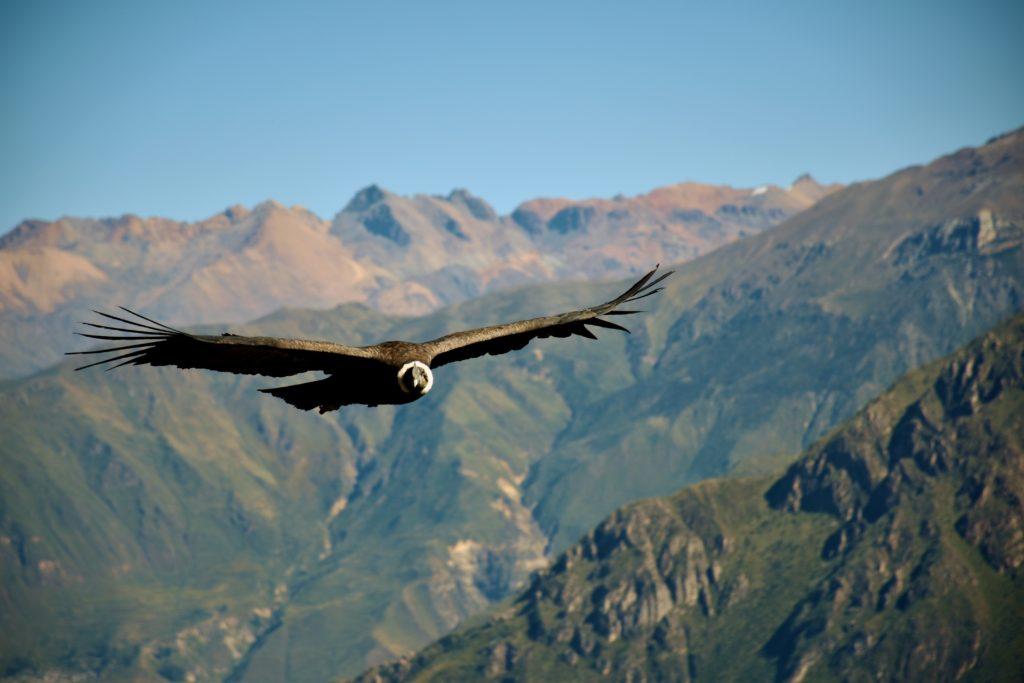 50 curiosities about Peru, condor